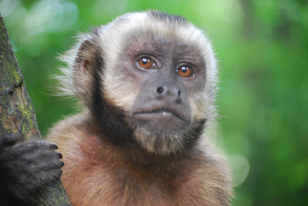 Capuchin Monkey Pictures Capuchin Monkeys