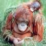 Orangutan-and-Baby-Wildlife-Animal-Nature-Art-Print-Poster-16x20-0