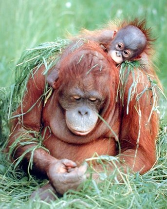 Orangutan-and-Baby-Wildlife-Animal-Nature-Art-Print-Poster-16x20-0